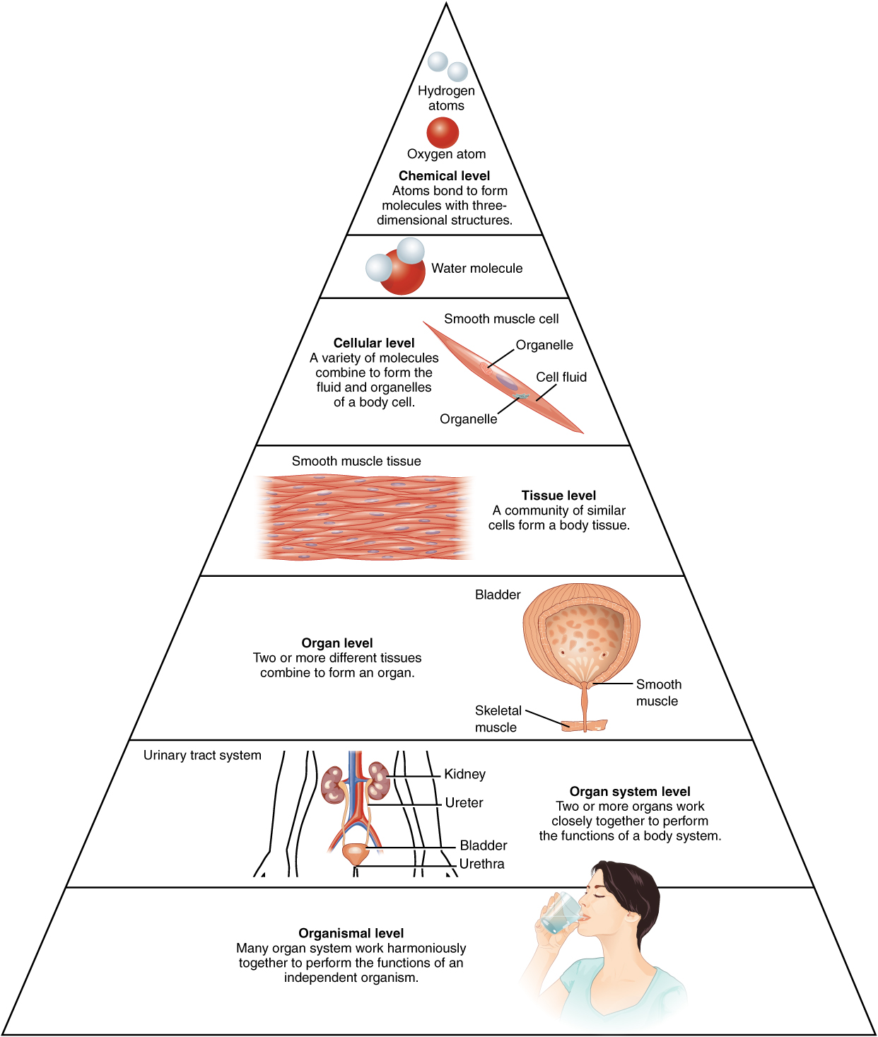 Levels of structural organization of the human body. Image description available.