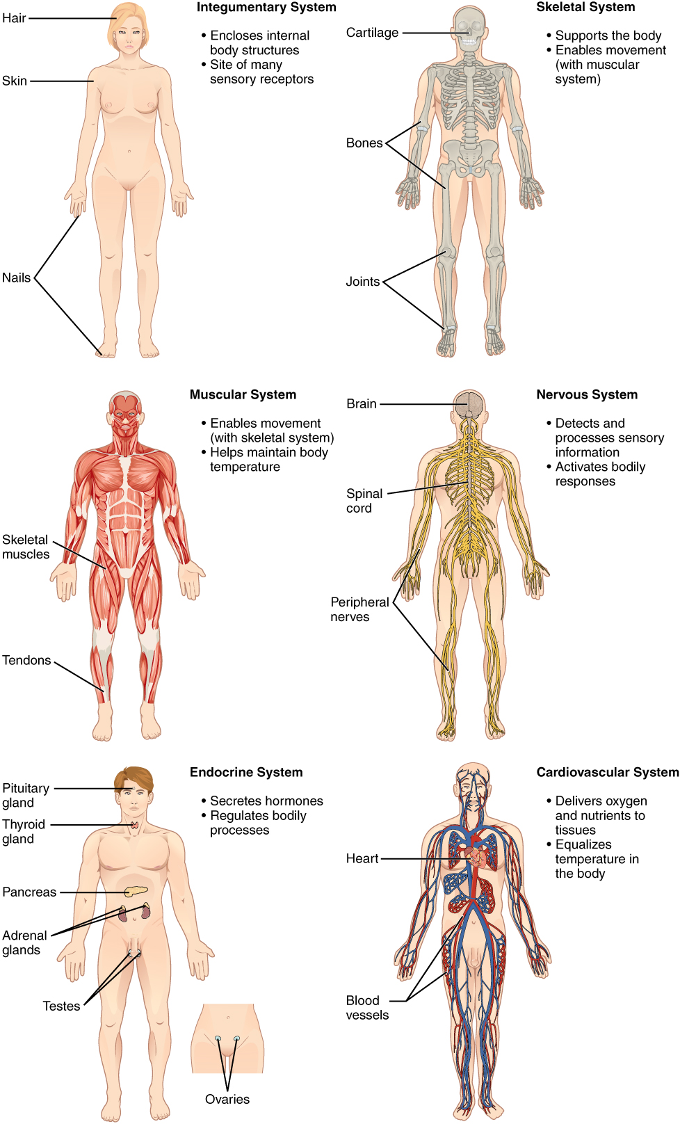 Organ systems of the human body. Image description available.
