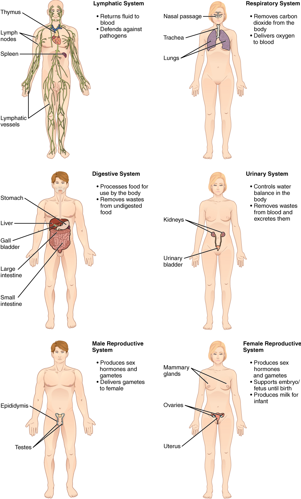 Organ Systems of the Human Body continued from Figure 5.2. Image description available.
