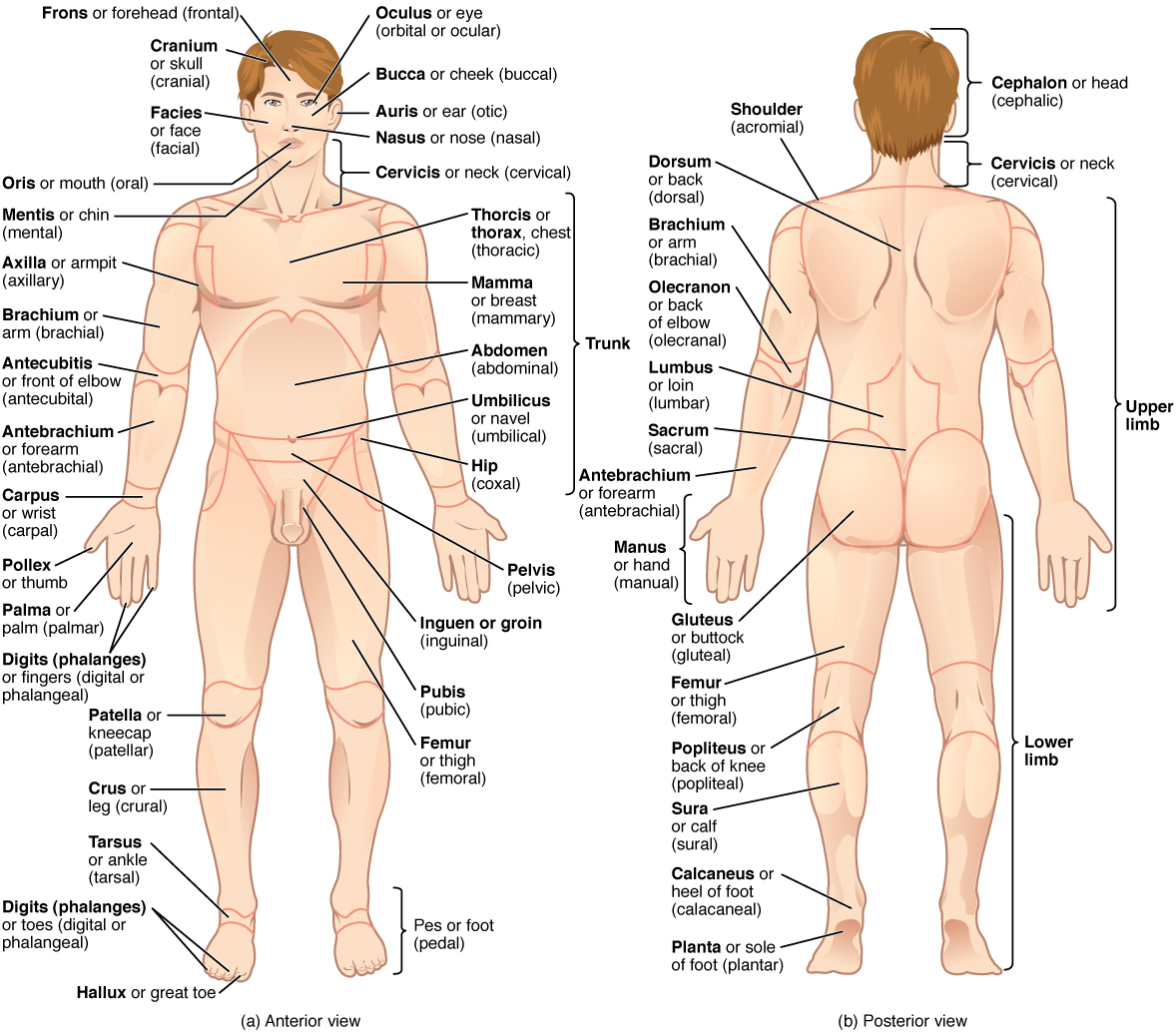 Regions of the human body. Image description available.