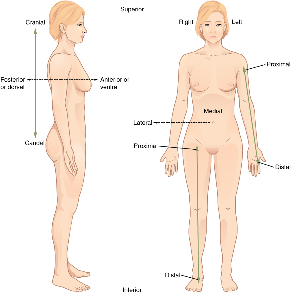 Directional terms applied to the human body. Image description available.