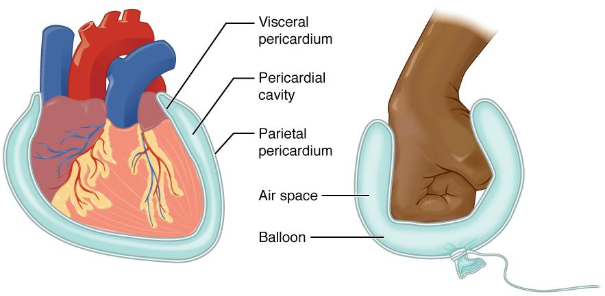 Serous membrane of the heart. Image description available.