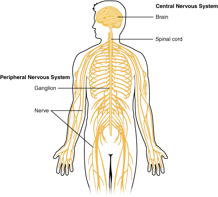 Central and peripheral nervous system. Image description available.