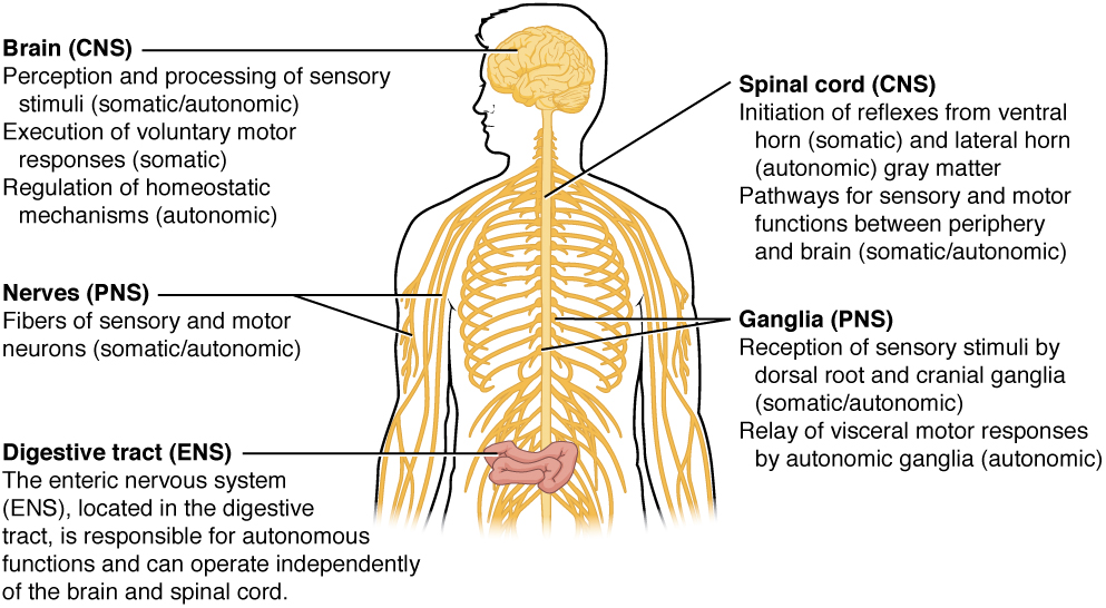 Somatic, Autonomic, and Enteric Structures of the Nervous System. Image description available.available.