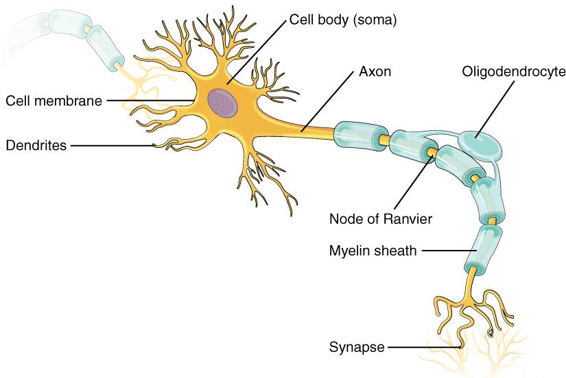Anatomy of a neuron. Image description available.