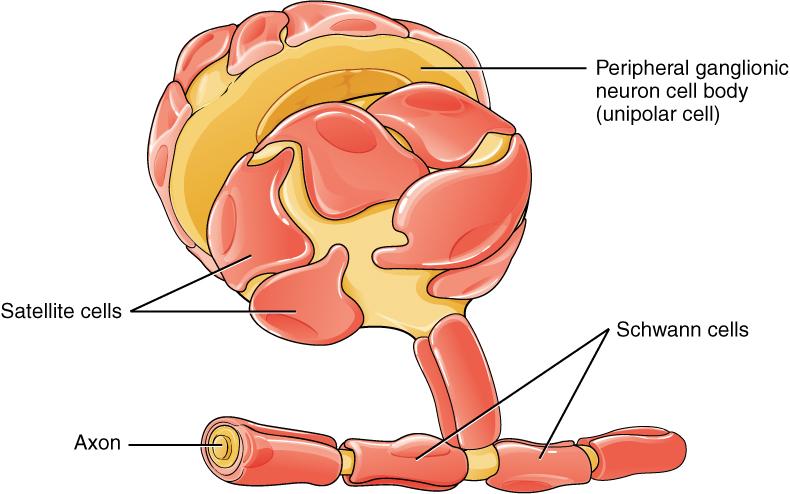 Glial cells of the PNS. Image description available.