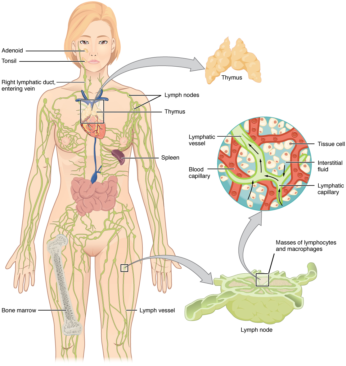 Lymphatic system in the human body. Image description available.