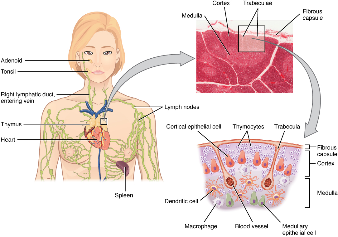 Illustration of a woman showing the location of the thymus. Image description available.