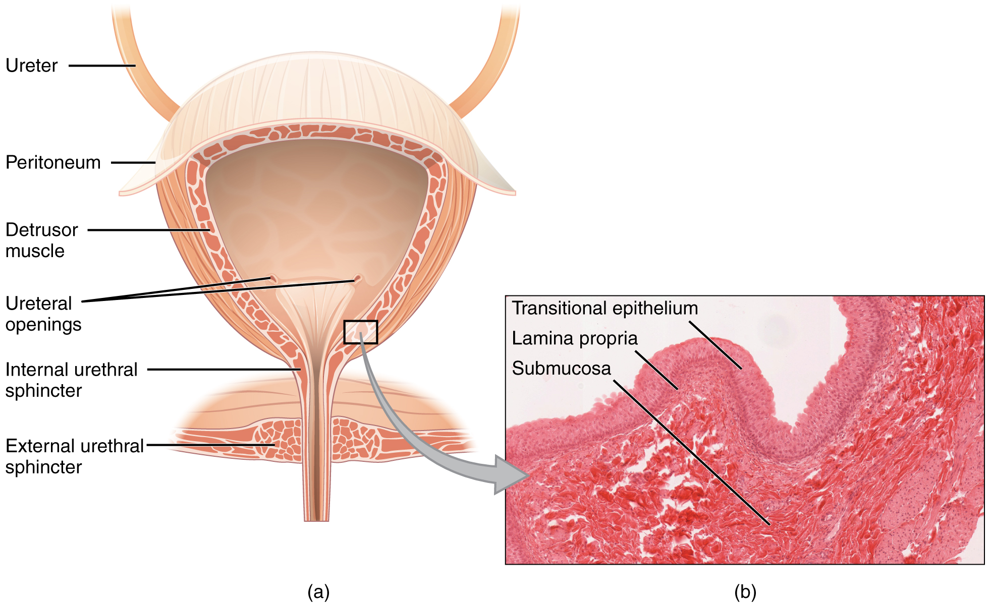 Cross-section of the bladder. Image description available.