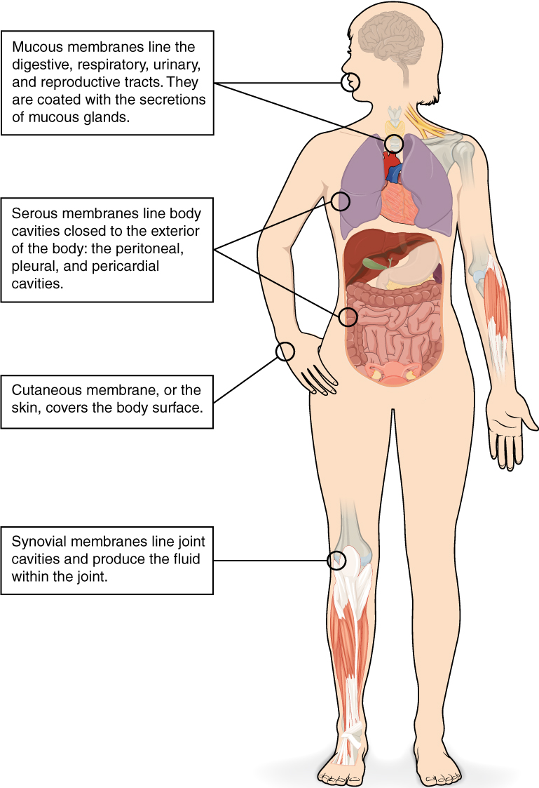 Tissue membranes in the human body with labels. Image description available.