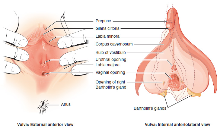 The vulva. Image description available.