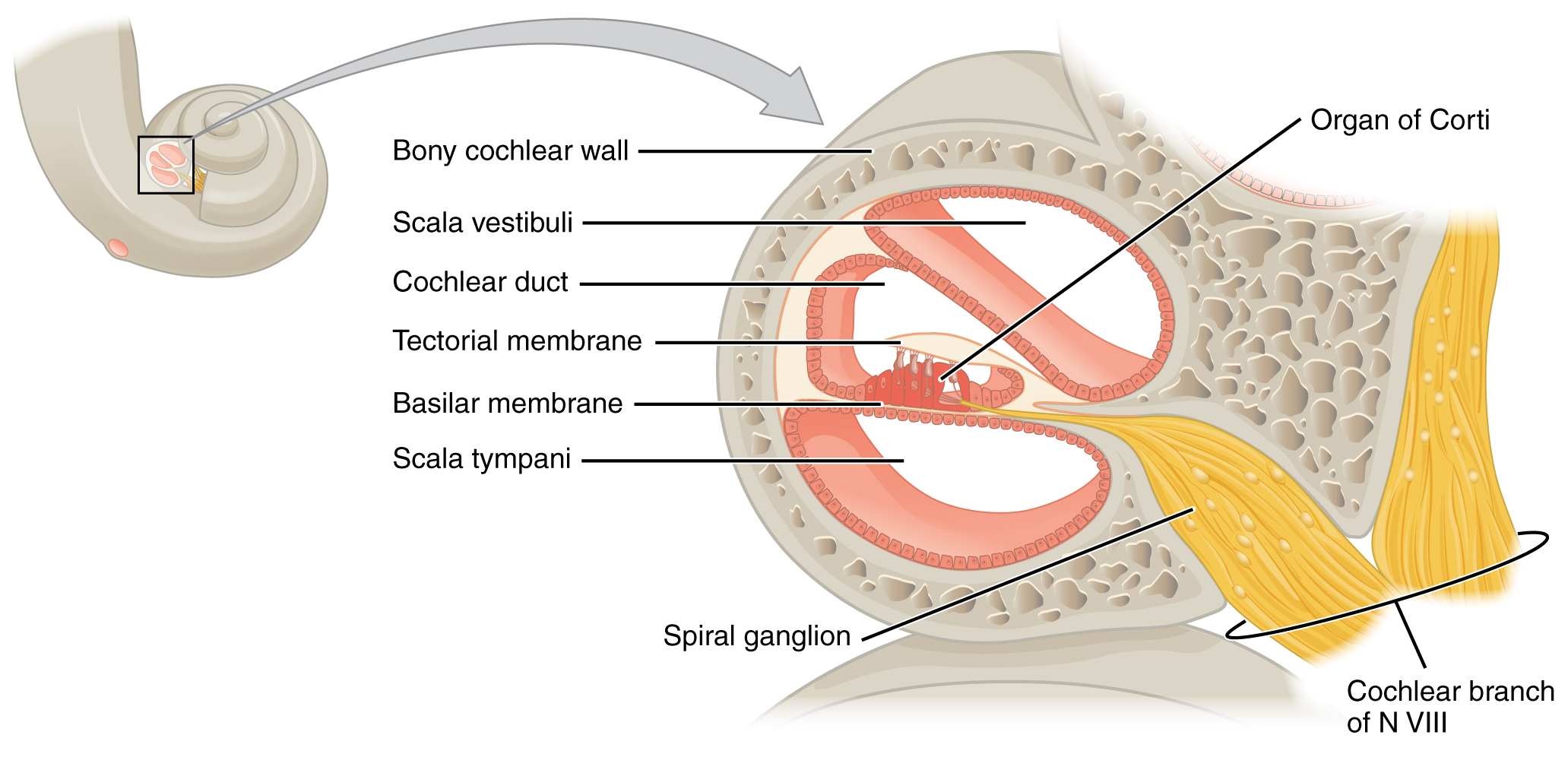 Cross-section of the cochlea. Image description available.