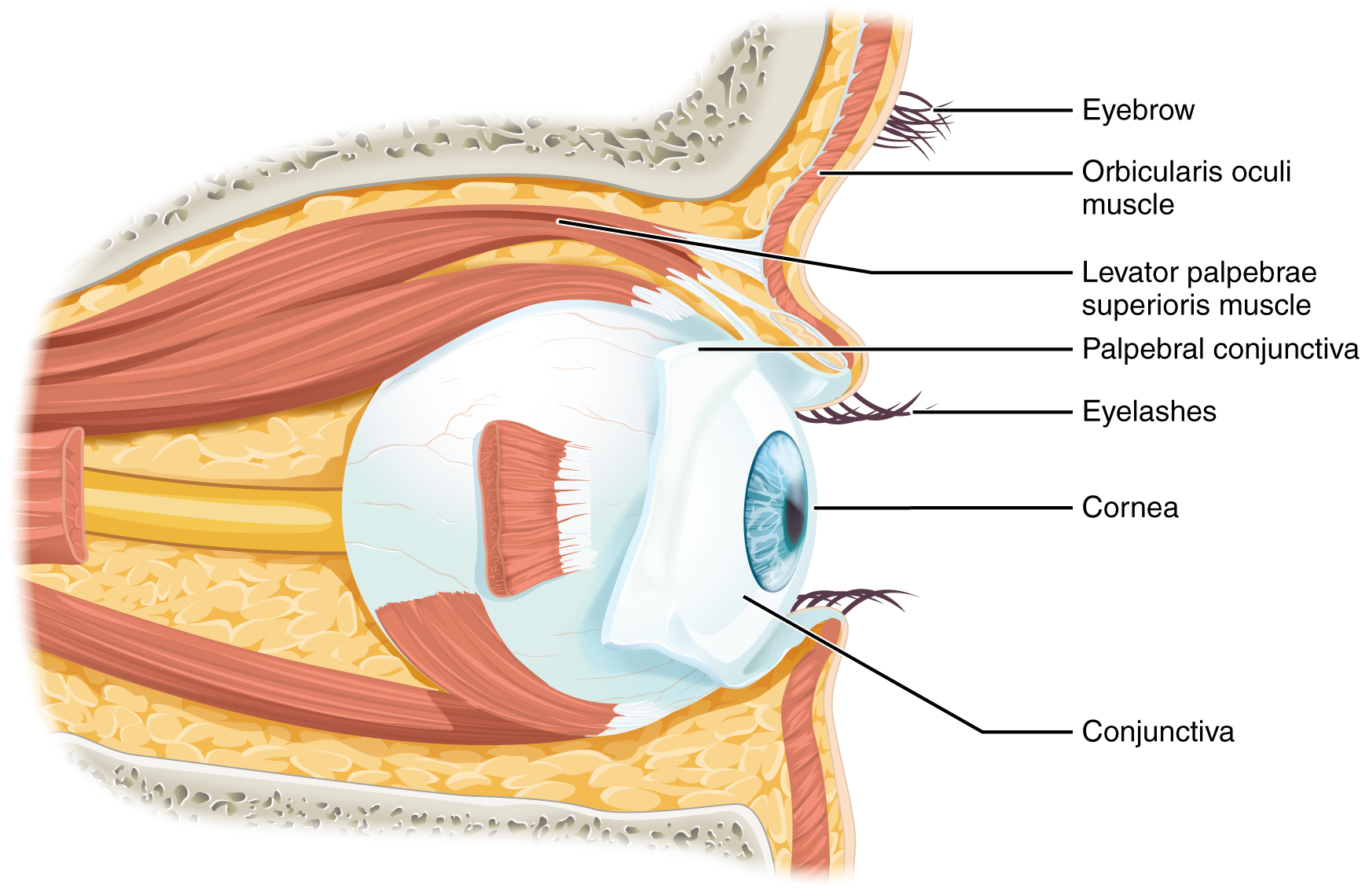 Lateral view of the eye. Image description available.