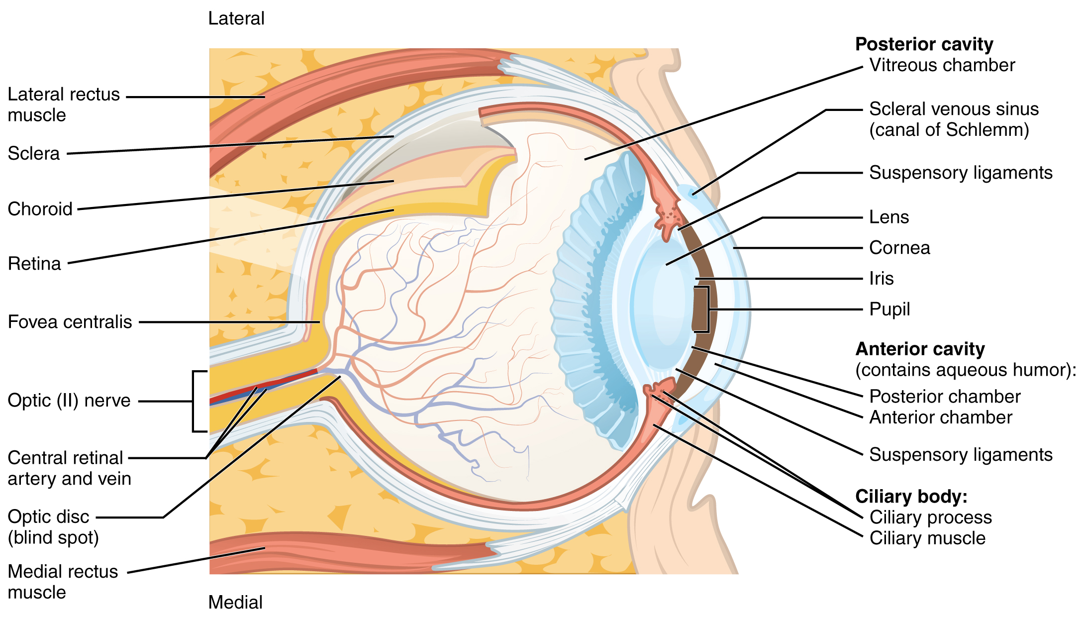 Lateral and medial view of eye ball. Image description available.