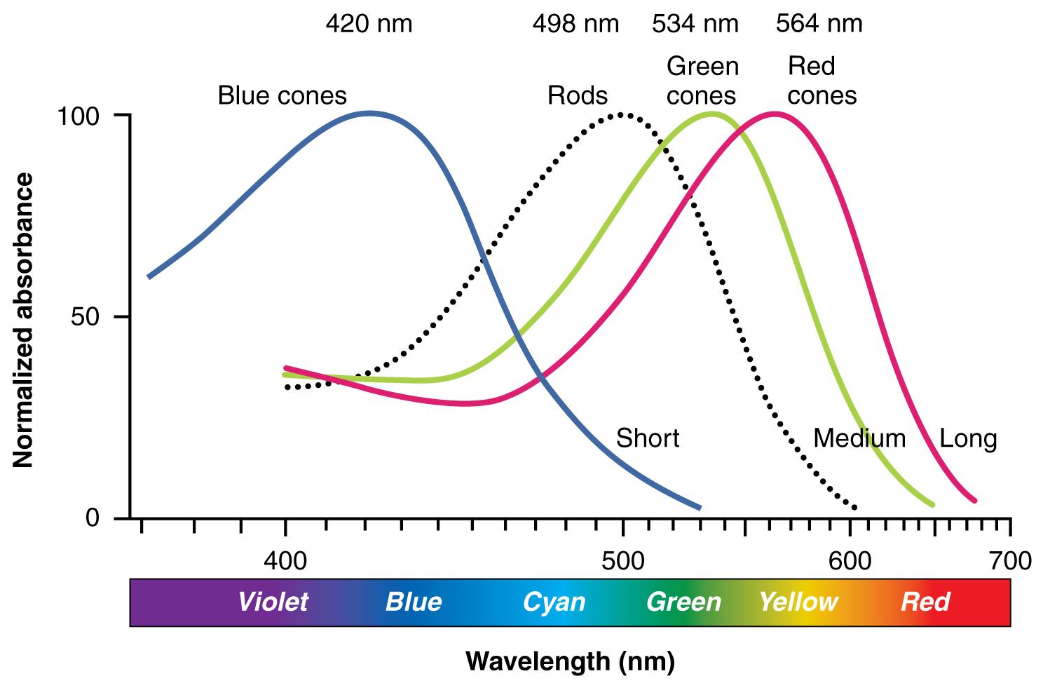 Colour sensitivity of photopigments. Chart description available.