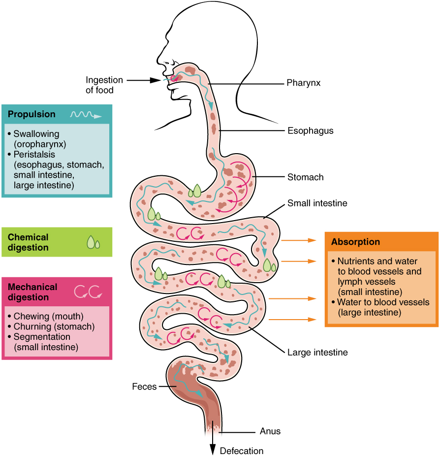 Digestive processes. Image description available.