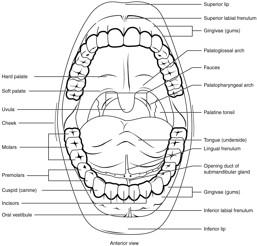 Anterior view of the structures of the mouth. Image description available.