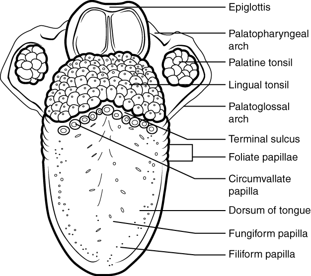 Structures of the tongue and lingual papillae. Image description available.