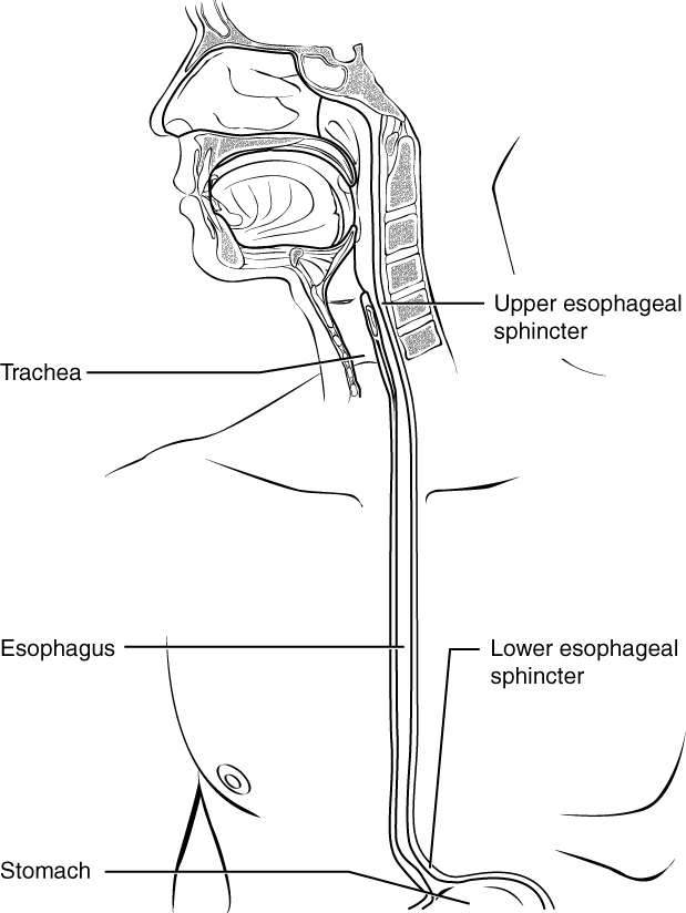 The esophagus. Image description available.