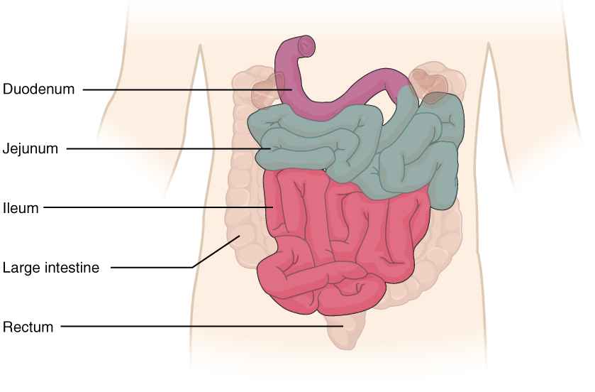 The small intestine. Image description available.
