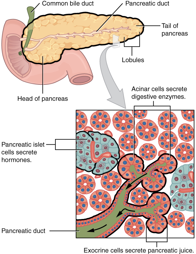 This figure shows the pancreas and its major parts. A magnified view of a small region of the pancreas shows the pancreatic islet cells, the acinar cells and the pancreatic duct.