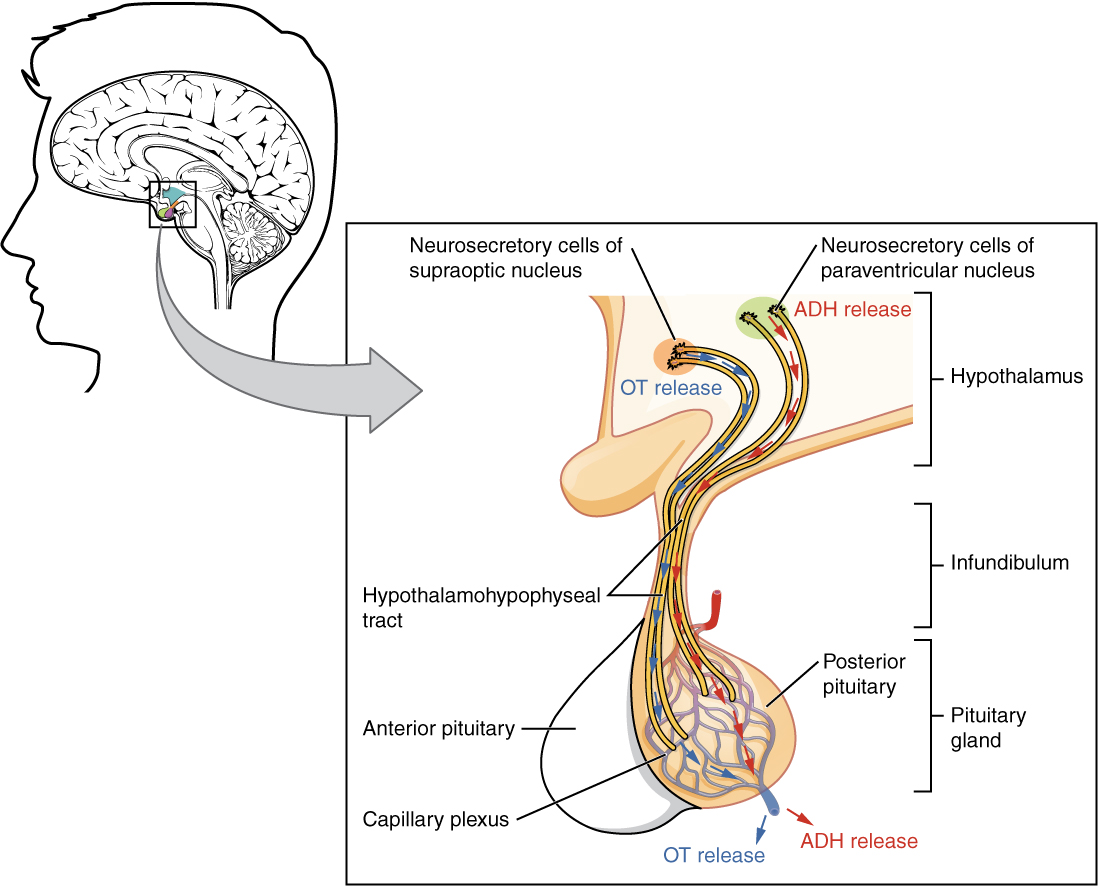Posterior pituitary gland. Image description available.