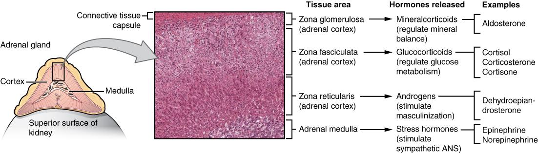 Adrenal glands. Image description available.