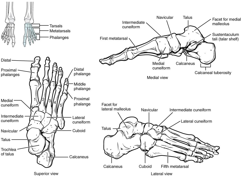 Bones of the foot. Image description available.