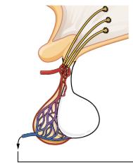 Anterior Pituitary Gland