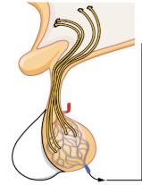 Posterior Pituitary Gland Image