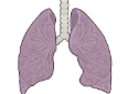 the lungs.