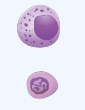 Lymphocytes Image